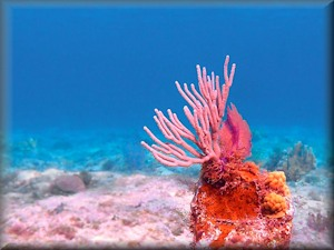 Pink coral in Grand Cayman