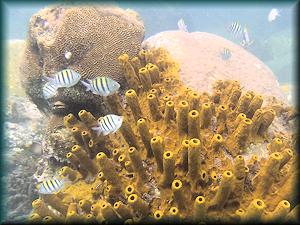 St Lucia - Sergent Majors and Yellow Barrel coral