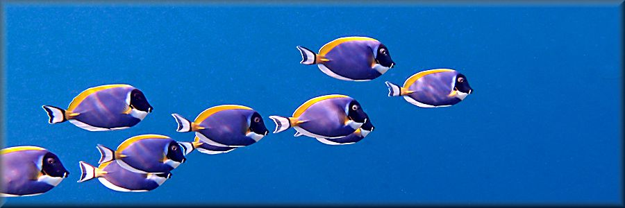 banner showing school of surgeonfish