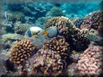 various corals with Emperor angelfish (Pomacanthus imperator)