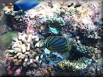 quite a few corals and a Meyer's butterflyfish