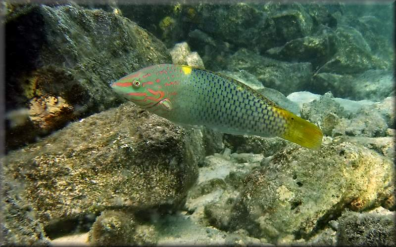 Chequerboard wrasse