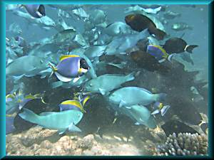 parrot fish schooling while feeding