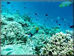 emperor angelfish among corals