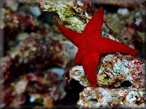 thousand-pore seastar