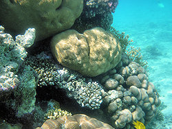 Sharm coral picture 3