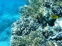 Sharm coral picture 4