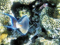 Picture Surgeonfish tail