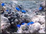 the common Fiji blue devil damselfish