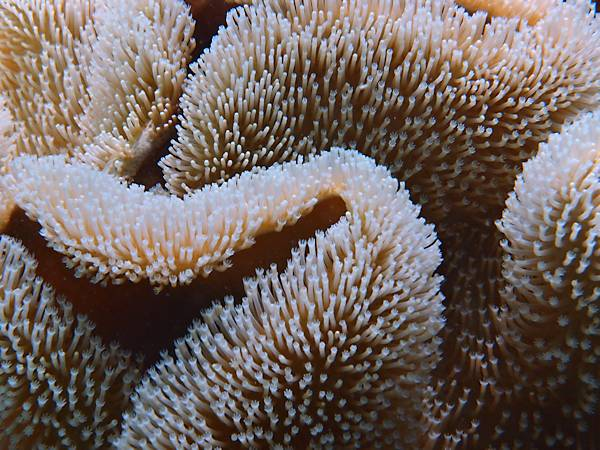 close-up of Mushroom leather coral