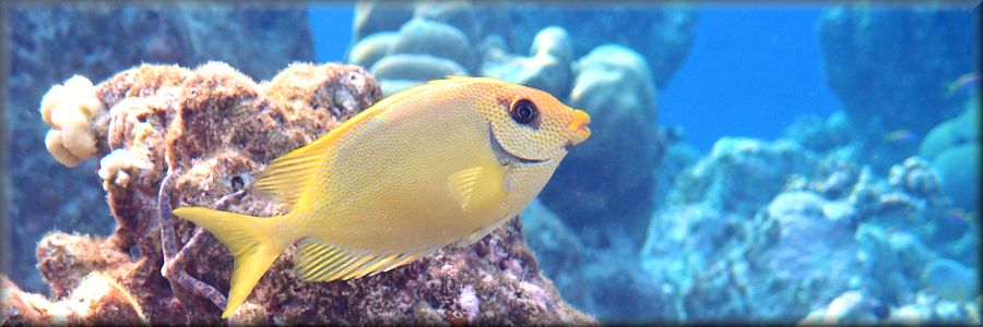 usually shy - one of a pair of coral rabbitfish