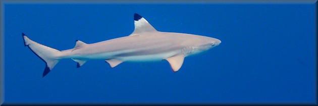 blacktip reef shark during the day